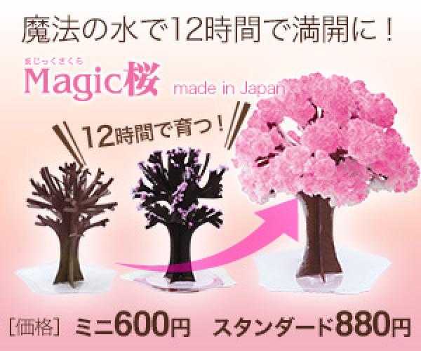 エア花見・インドア花見で人気!12時間で咲く不思議な桜 マジック桜